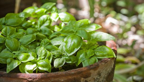 Basilikum pflanzen: Wie und wann Sie das Kraut am besten säen