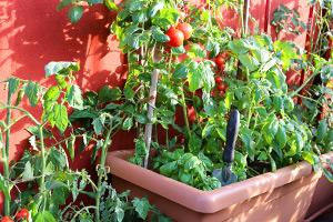 Basilikum und Tomaten ergeben eine gute Mischkultur