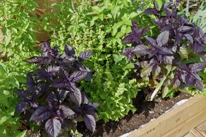 Basilikum pflanzen im Garten: grüner und roter Basilikum.