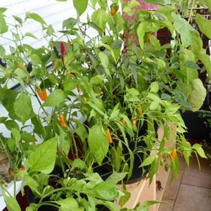 Chili anpflanzen auf dem Balkon