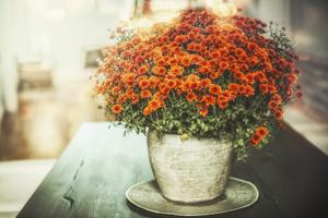 Vorsicht bei Topf-Chrysanthemen: Nicht alle überstehen den Winter