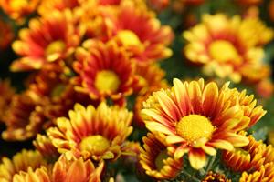 Blühende Chrysanthemen mit ungefüllten Blüten