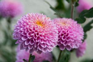 Blühende Chrysantheme mit gefüllter Blüte