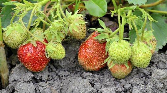 wann erdbeeren pflanzen erdbeeren pflanzen wann ist der beste zeitpunkt gr neliebe kr uter. Black Bedroom Furniture Sets. Home Design Ideas