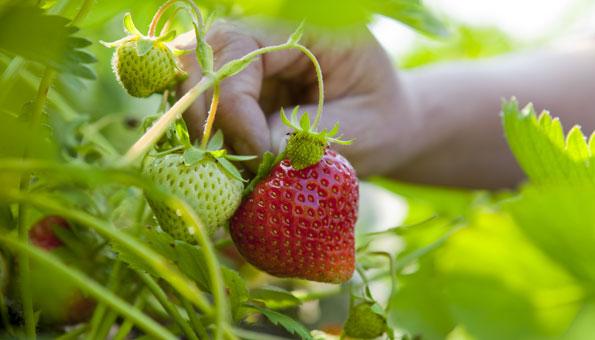 Reife Erdbeeren ernten
