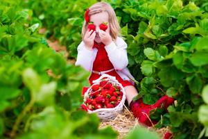 Auf diesen Feldern in der Schweiz pflückst du deine Erdbeeren selber