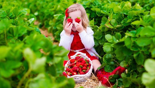 Erdbeeren selber pflücken auf diesen Erdbeerfeldern in der Schweiz