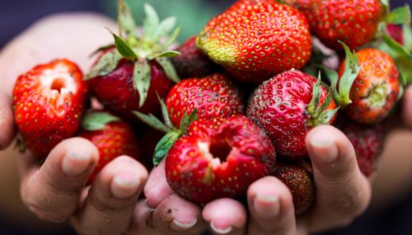 Erdbeeren selber pflücken auf diesen Feldern in der Schweiz
