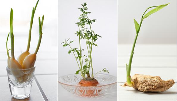 Gärtnern mit Küchenresten: 11 Lebensmittel, die immer nachwachsen