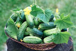 Salatgurken und Einlegegurken anbauen