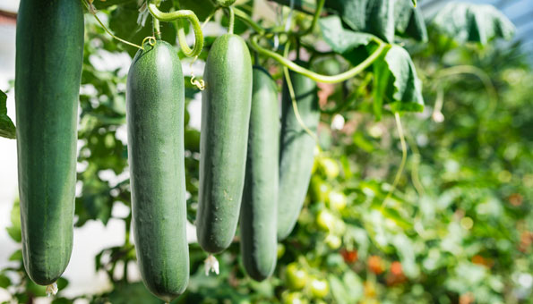 Gurken pflanzen: Richtig Gurken säen im Beet oder auf dem Balkon