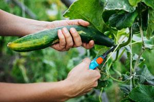 Gurken pflanzen: Wie Sie Gurken richtig ernten