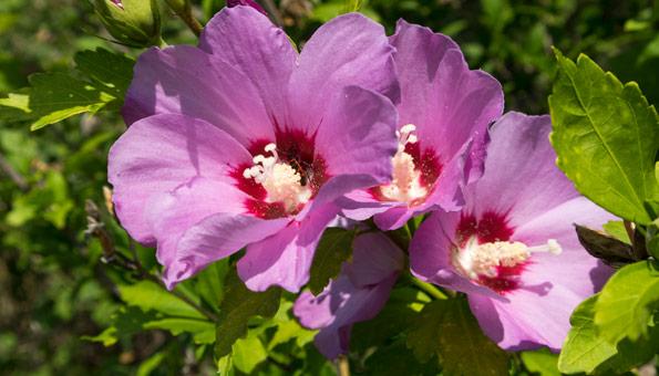 Hibiskus richtig pflegen und überwintern für eine volle Blütenpracht