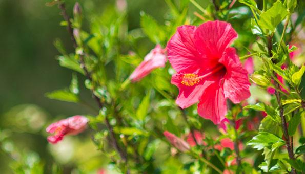 Hibiskus schneiden: Anleitung und Tipps für den Rückschnitt