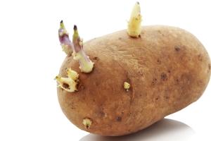Kartoffeln beginnen nach einigen Tagen zu spriessen