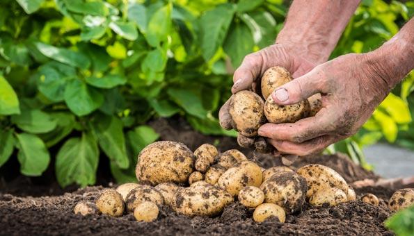 Kartoffeln Pflanzen: Eine Anleitung, wie Sie Kartoffeln setzen im Beet oder Topf und Tipps zum Zeitpunkt