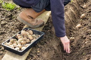 Kartoffeln setzen in V-förmige Rillen und mit Abstand von 30 cm und einer Tiefe von 10 bis 20 Zentimeter