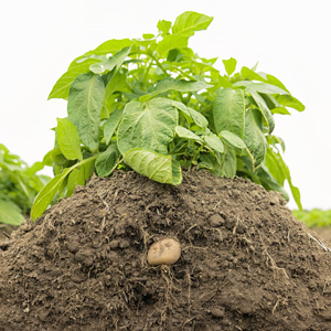 Kartoffelpflanzen werden mit Erde angehäuft.