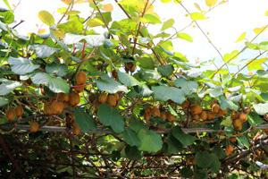 Kiwipflanze auf Pergola schneiden