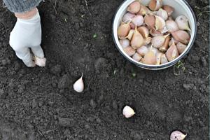 Knoblauch pflanzen im Abstand von rund 10 Zentimetern