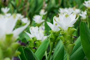 Kurkumablüte weiss und Kurkuma-Pflanze