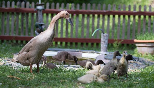 Laufenten-Weibchen mit jungen Laufenten im Garten mit Teich