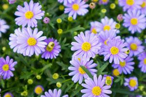 Bei den Gartenmargeriten reicht das Farbspektrum von weiss bis violett.