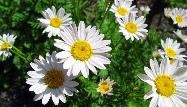 Margeriten: So pflanzen und pflegen Sie die Blumen am besten