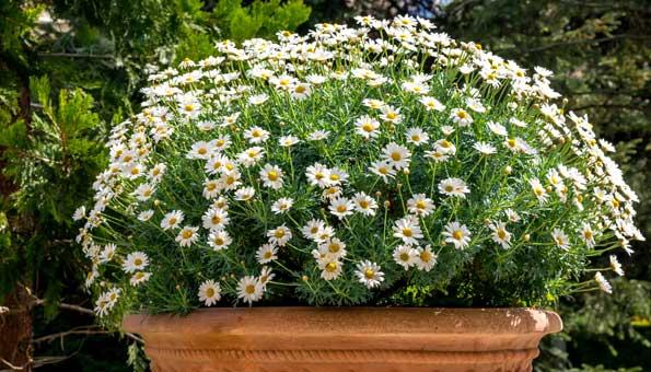 Margeriten brauchen einen sonnigen Standort im Garten oder auf dem Balkon