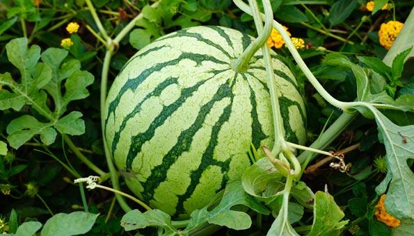Melonen pflanzen: Was beachten bei Wassermelone, Zuckermelone und Co.