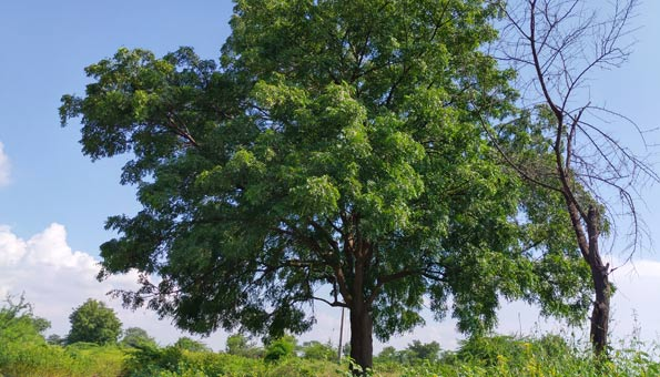 Der Neembaum wächst hauptsächlich in Indien und Bangladesch