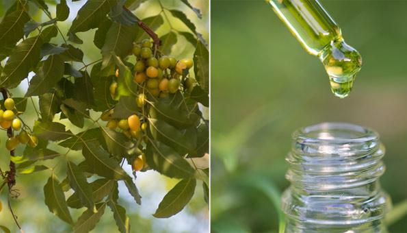 Neemöl: Anwendung und Wirkung gegen Schädlinge und für die Haut