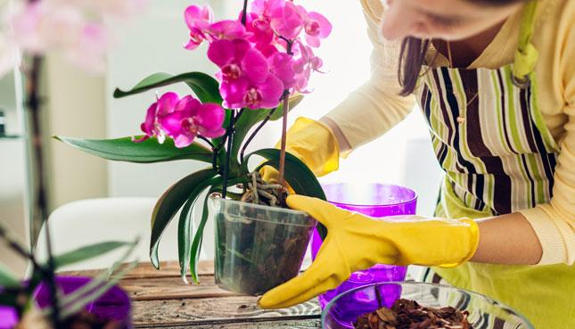 Orchideen umtopfen: Anleitung, Pflege-Tipps, wie teilen
