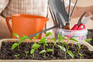 Peperoni anpflanzen in der Anzuchtschale