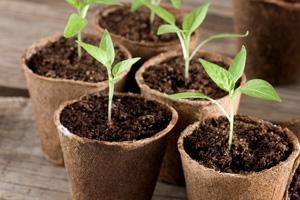 Peperoni pflanzen nach 4 bis 8 Wochen umtopfen