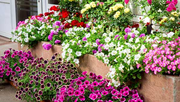 Petunien Pflegen und mit anderen Blumen kombinieren