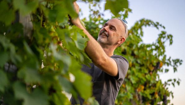 Reben schneiden: Der richtige Schnitt der Weinreben für mehr schöne Pflanzen