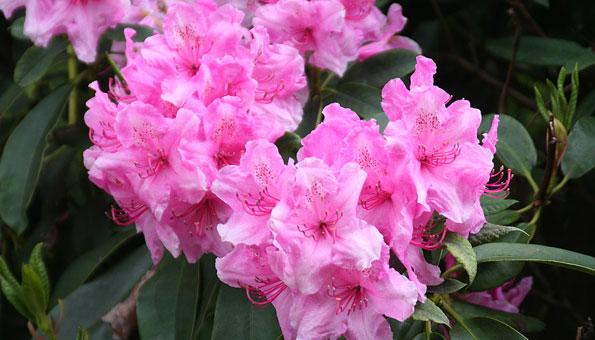 Rhododendron: So schneiden, pflegen und düngen Sie ihn richtig
