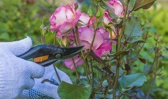 Wann und wie Sie am besten Ihre Rosen schneiden