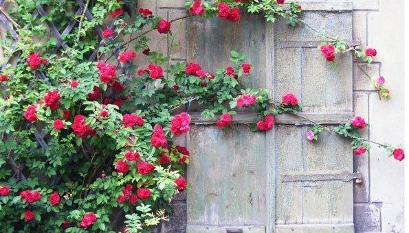 Rosen schneiden: Kletterrosen