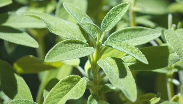 Salbei ernten: Fast ganzjährig im eigenen Garten anbauen
