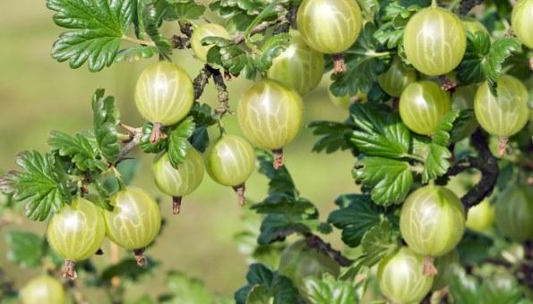 Stachelbeeren selber pflanzen für einen beerigen Genuss