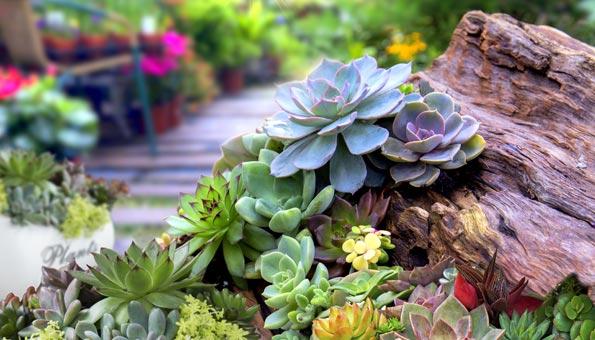 Sukkulenten eignen sich, um einen Steingarten anzulegen