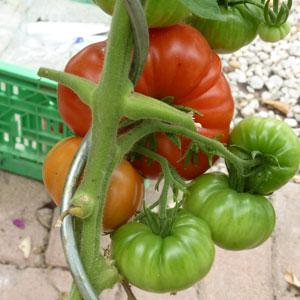 Tomaten anpflanzen mit einer gedrehten Tomatenstange
