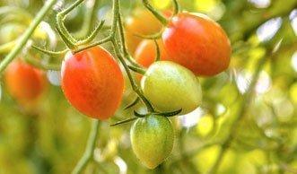 tomaten ausgeizen mehr tomaten ernten durch triebe abknipsen. Black Bedroom Furniture Sets. Home Design Ideas