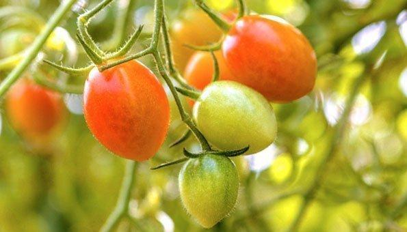Tycoon Tomate Tage bis zur Reife