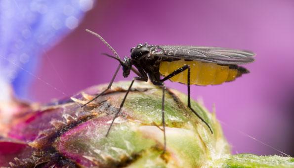 Trauermücken: Mit diesen Hausmitteln Trauermücken bekämpfen