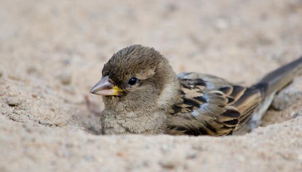 Vögel baden gerne im Sand.