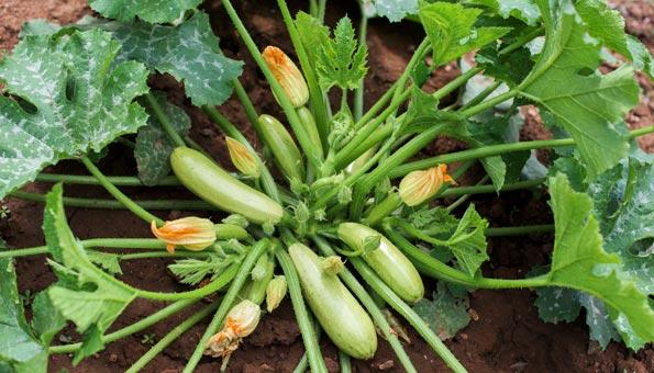 Gut bekannt Zucchini pflanzen: Wann, wie und die richtige Pflege JC55