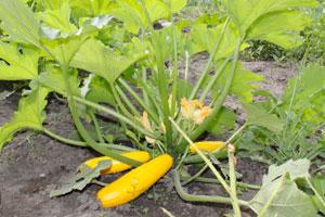 Zucchini bringen 6 bis 8 Wochen nach dem pflanzen erste Früchte: Hier gelbe Zucchini
